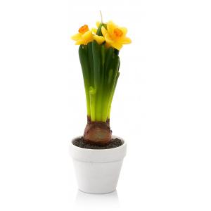 kwiatek-świeca Daffodil